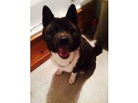 American Akita FREE to GOOD home