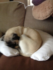Looking for male pug for September