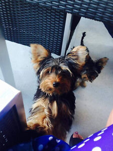 Lost dog in Riviere-Beaudette Cornwall Ontario image 1
