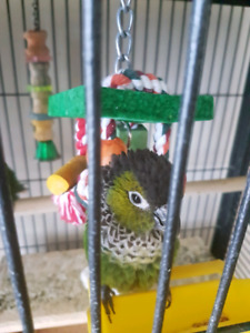 Black pearl conure for re homing