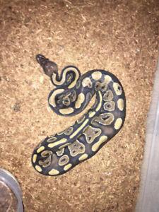 Python royal Magahony Mâle bébé