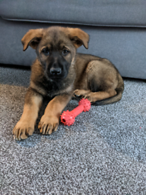 9 week male KC German shepherd +crate/toys/food ect