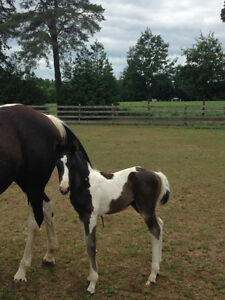 Paint horse - APHA yearling