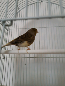 Femelle canari gloster 65$.