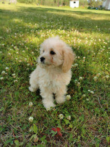 Cockapoos Puppy | Adopt or Rehome Pets in Alberta | Kijiji