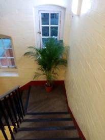 Extra large kentia palm tree house plant