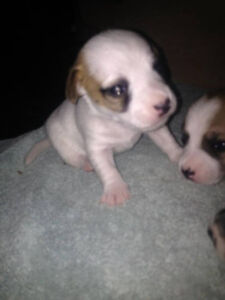 Jack Russell Puppies London Ontario image 9