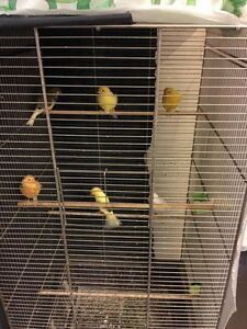 Quality canaries for sale--- male and female