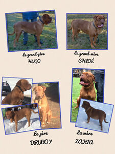 Dogue de bordeaux ( mastif francais)