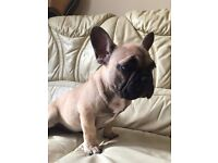 Beutiful Beige French Bulldog puppy boy