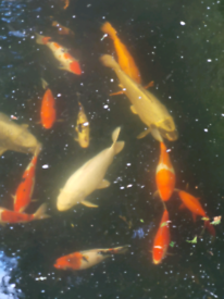 Variety of Japanese Koi Carp and other fish available