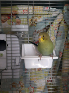 Budgies baby looking for good home