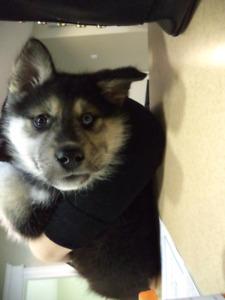 Husky/Shepherd /Malamute Puppies