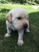 CKC Registered Yellow Labs