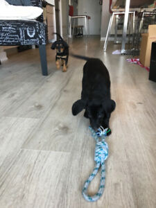 Black Lab Rotty Pups take home today!