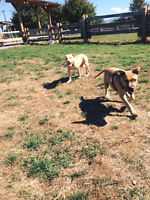APBA Registered Red nose pittbull puppys