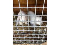 Male and female lop rabbits