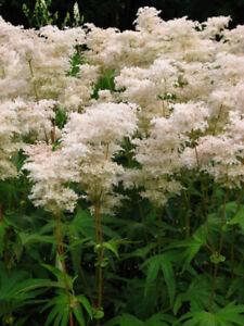 Pots de Filipendula plantes vivaces perennials