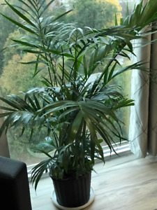 -Beautiful Tropical House Plant - Cat Palm 3 Feet Tall