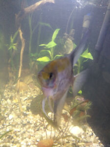 I'm looking for 1 female angel fish free