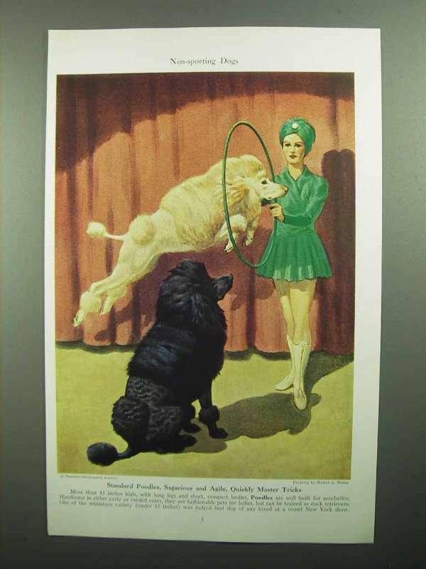 1943 Standard Poodle Illustration by Walter A. Weber