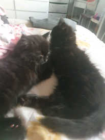 2 black female kittens