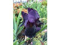 Iris plants 'Black Swan'