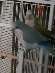 2year old female friendly blue quaker parrot