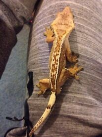 Pair high end crested gecko