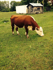 Hereford heifers and calves