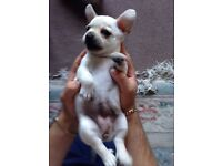 Chihuahua puppy puppies pups ready now