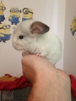 Chinchilla bébé