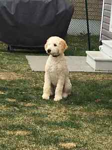 F1b Goldendoodle seeks guardian family