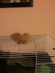Pet Hamster, very sweet guy.