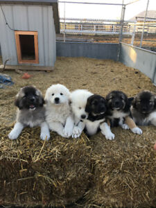 Sarplaninac/Great Pyrenees puppies for sale.