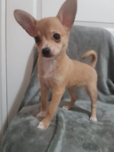 chihuahua mix adopt dogs puppies locally in ontario kijiji