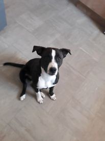 Male staffy 27 week old for sale