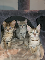 F4 Savannah Kittens For Adoption