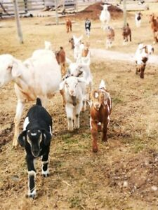 Nubian Goats | Kijiji in British Columbia  - Buy, Sell & Save with