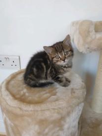 Tabby short hair kitten