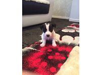 x6 Jack russells puppys £200