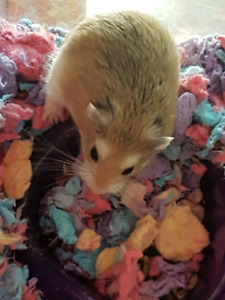 Rescue/foster for robo hamsters