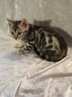 Incredible and gorgeous pure breed Bengal kittens for sale.