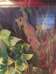 Adult female crested gecko + extras