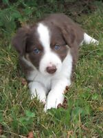 CBCA REGISTERED BORDER COLLIE PUPPIES - 6  WEEKS