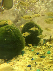 Blue Nile Tilapia Fingerlings for Sale Kitchener / Waterloo Kitchener Area image 1