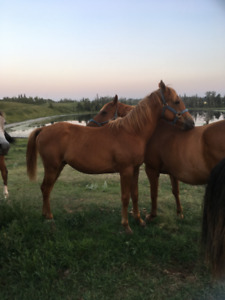 Reg. Yearling Appendix Quarter Horse/Arab Gelding
