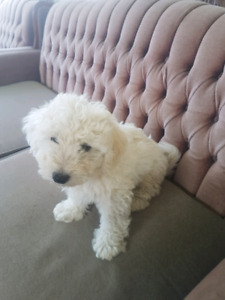 Poodle cross pup for sale