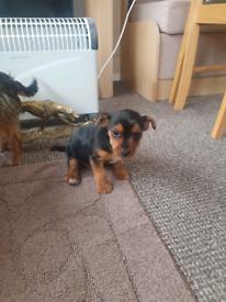 Miniature Yorkshire terrier pup