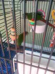 Baby green cheek conures trade